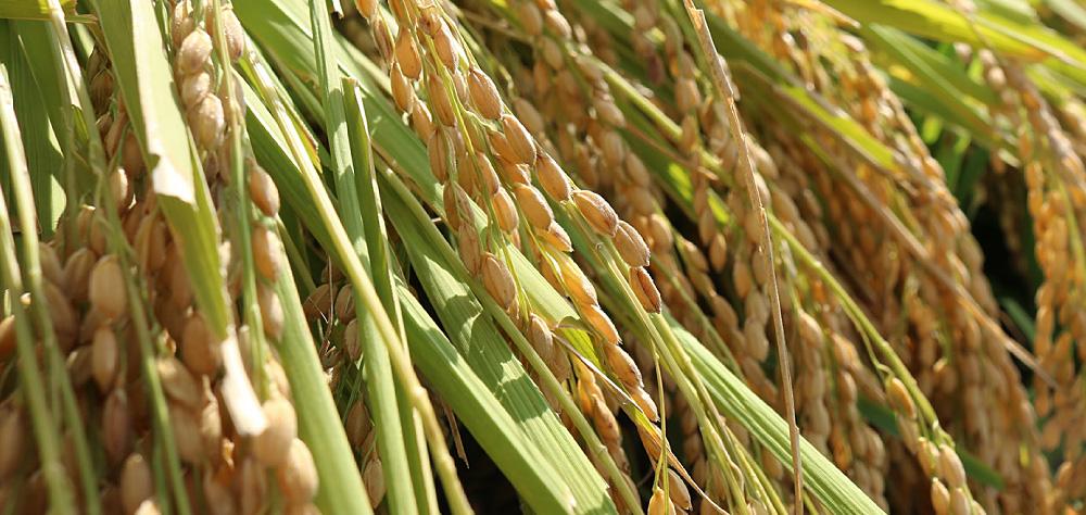 Kyotango Rice