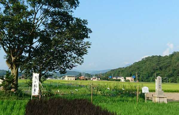Rice field where special local sake is made