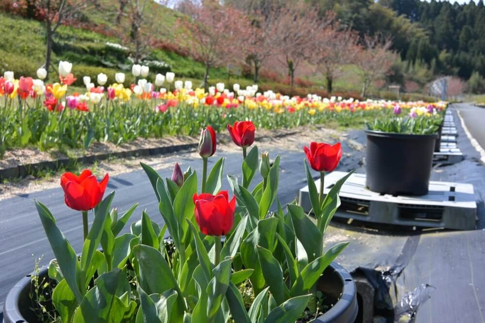 Red tulips in season in a pot and rows of different colored tulips
