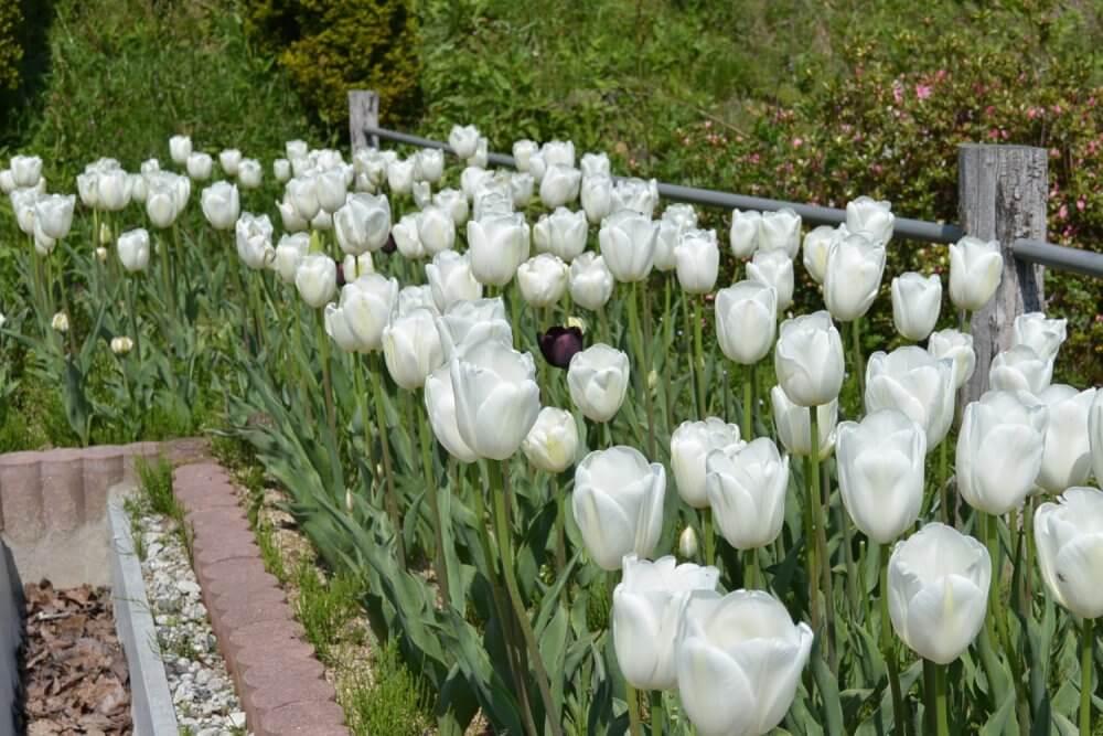 White tulips in season