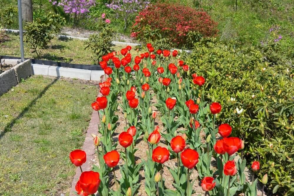 Red tulips in season