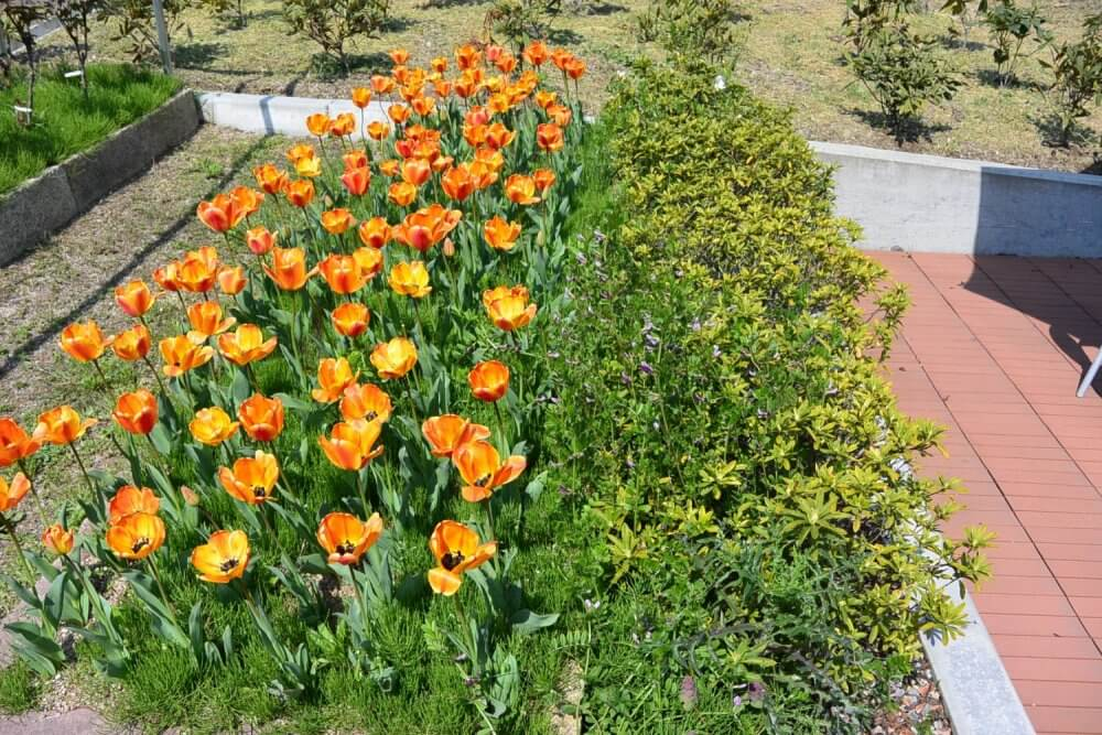 Bright orange tulips in season and green buses