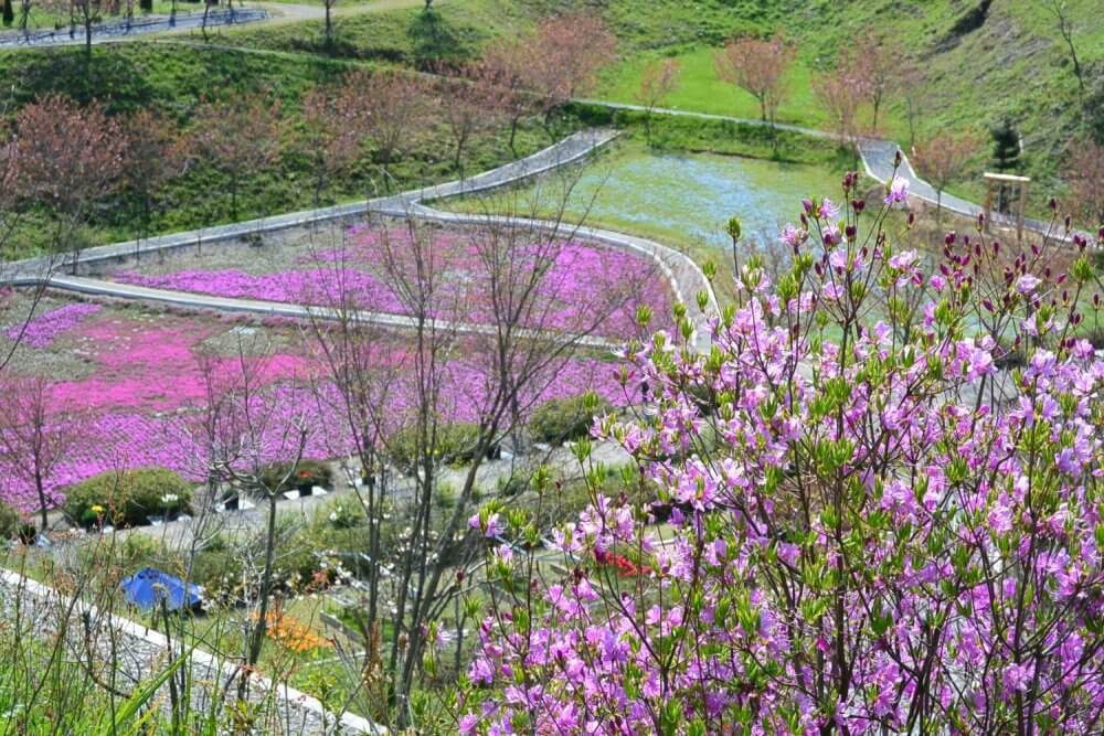 Looking down on a pink and blue lawn with a pink rhododendron in the foreground