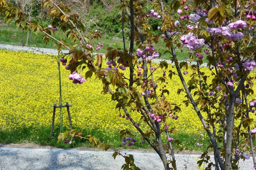 Close-up of a cherry blossom and rapeseed flowers
