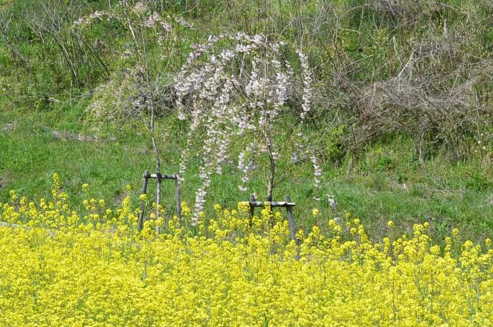 Rapeseed flowers and a weeping cherry blossom