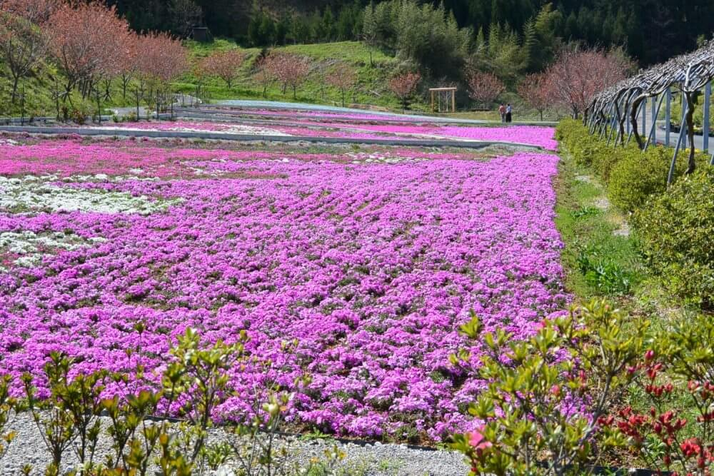 A lawn of pink flowers