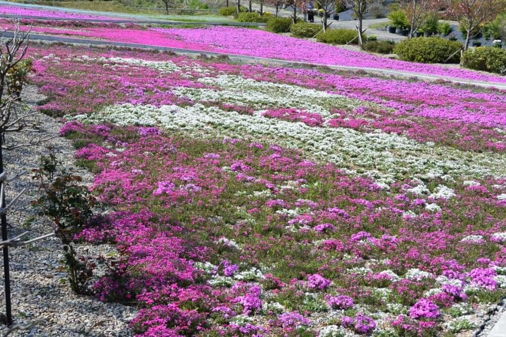 Pink and white flowers cover the ground