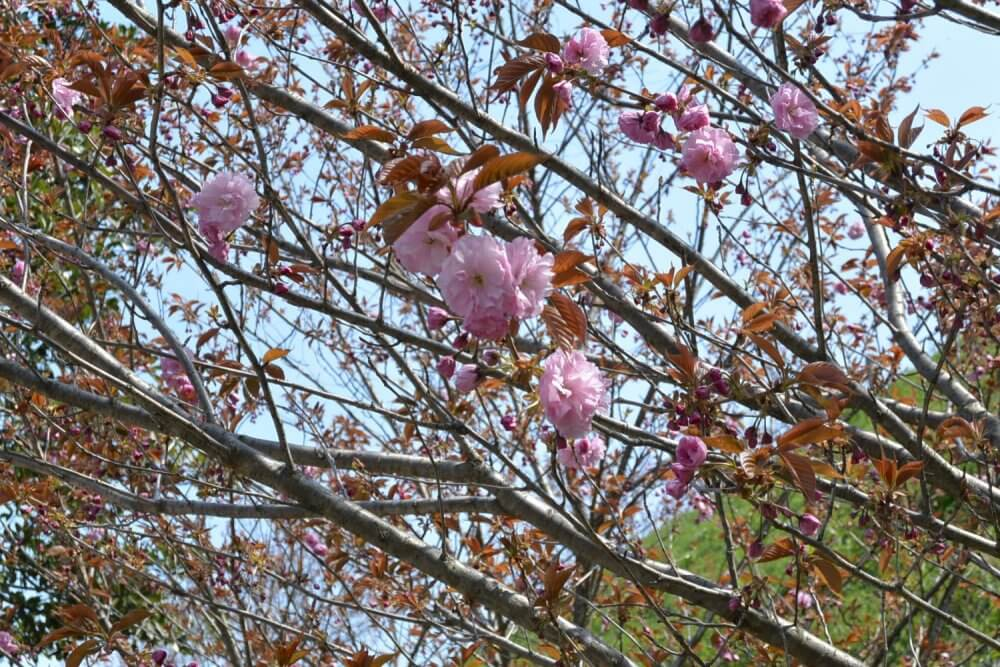A cherry blossom flower with many petals