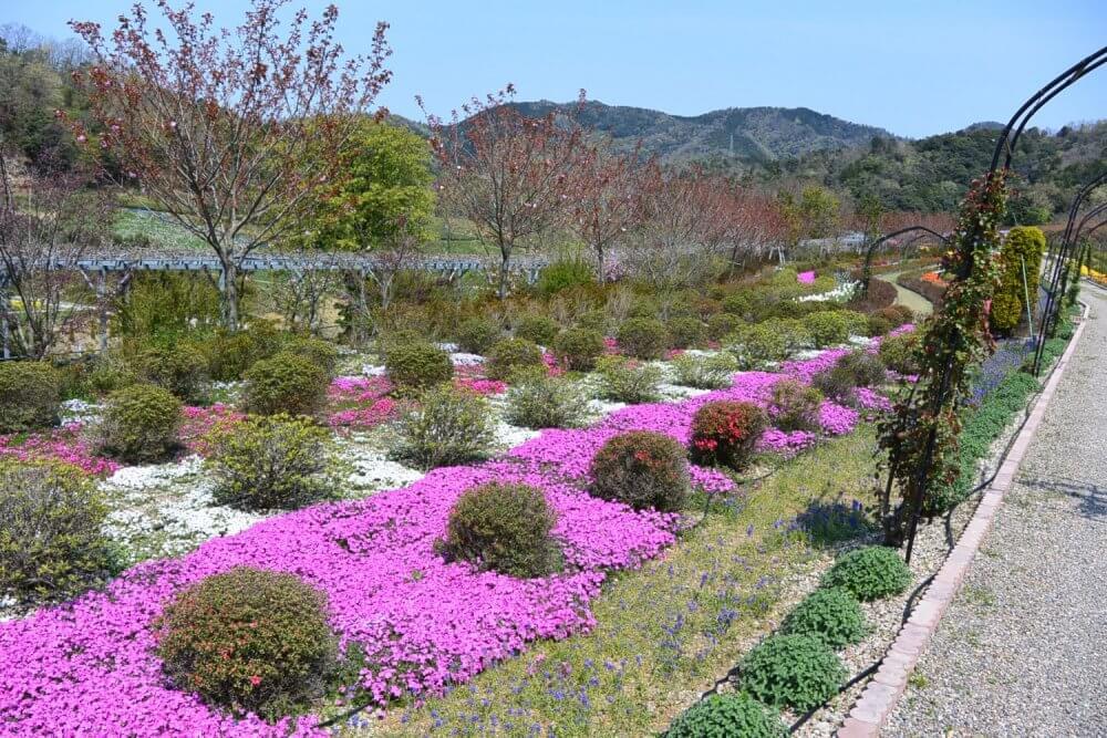 Shiba-zakura, small bushes and muscari