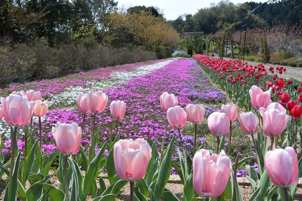 Pink tulips in season in the foreground, rows of flowers behind