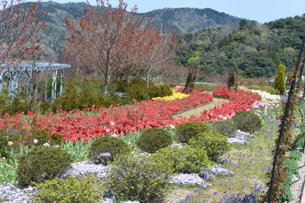 Rows of red tulips in season and green bushes